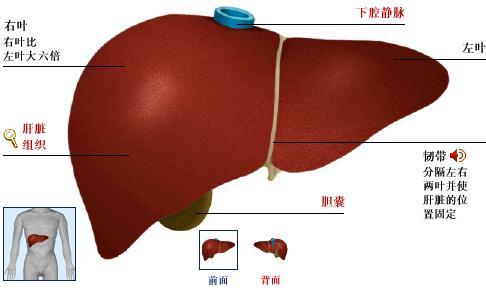 肝脏的位置